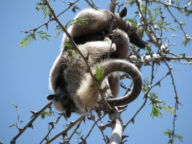 Two anteaters at Morgans Rock San Juan del Sur Nicaragua – Best Places In The World To Retire – International Living