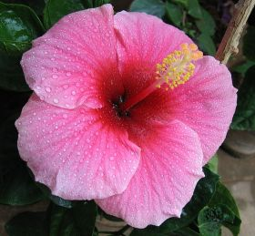 Hibiscus flowers and trees in and around San Juan del Sur Nicaragua – Best Places In The World To Retire – International Living