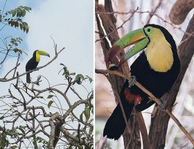Toucans Cerro Ancon Panama City bird watching – Best Places In The World To Retire – International Living