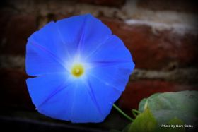 Blue Morning Glory in Mexico – Best Places In The World To Retire – International Living