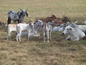 Brahman cattle on the Pacific side of Central America – Best Places In The World To Retire – International Living