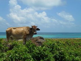 cow on the Corn Island, Nicaragua – Best Places In The World To Retire – International Living