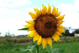 girasol, sunflower, Nicaragua – Best Places In The World To Retire – International Living