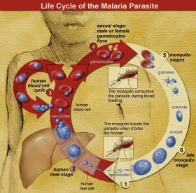 Life_Cycle_of_the_Malaria_Parasite – Best Places In The World To Retire – International Living