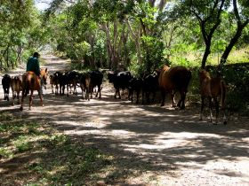 Ometepe cattle drive, Nicaragua – Best Places In The World To Retire – International Living