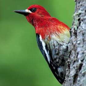 Red-breasted sapsucker – Best Places In The World To Retire – International Living