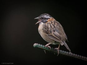 Rufous-collared sparrow photograph by Lloyd Cripes, Boquete, Panama – Best Places In The World To Retire – International Living