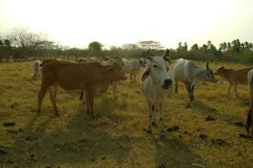 Vacas de Mochila, cattle in pasture – Best Places In The World To Retire – International Living