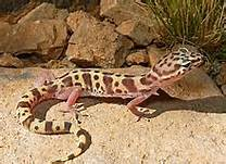 Western banded gecko found in northwest Mexico – Best Places In The World To Retire – International Living