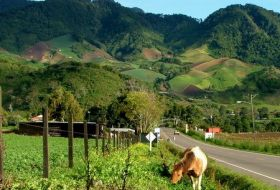 Boquete road with a cow – Best Places In The World To Retire – International Living