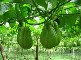 chayote – Best Places In The World To Retire – International Living