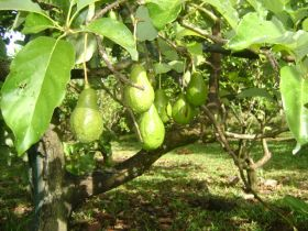 Avocados growing in Boquete – Best Places In The World To Retire – International Living