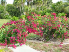 Bougainvillea_spec-Cuba. – Best Places In The World To Retire – International Living
