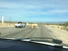 Cow in the road in Baja California Sur, Mexico