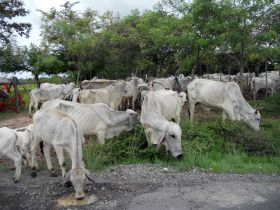 Cows in Pedasi, Panama – Best Places In The World To Retire – International Living