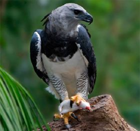 Harpy Eagle in Panama – Best Places In The World To Retire – International Living