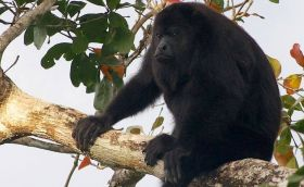 Howler Monkey in a tree in Belize – Best Places In The World To Retire – International Living