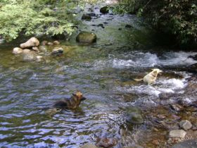 Dogs playing in the river at River Ranch Farms Panama – Best Places In The World To Retire – International Living