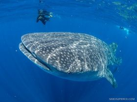 Whale shark in Cancun with man in the distance – Best Places In The World To Retire – International Living