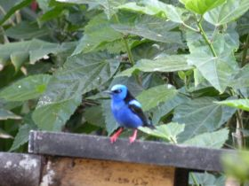 Blue humingbird in Panama – Best Places In The World To Retire – International Living