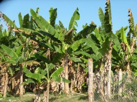 Banana tree fields in Puerto Armuelles  – Best Places In The World To Retire – International Living