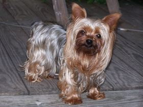 Yorkshire Terrier – Best Places In The World To Retire – International Living