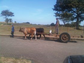 Oxen pulling freight in Nicaragua – Best Places In The World To Retire – International Living